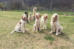 Spinone5